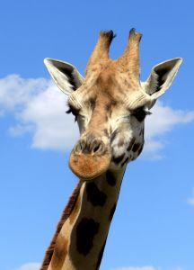 1102343_giraffe